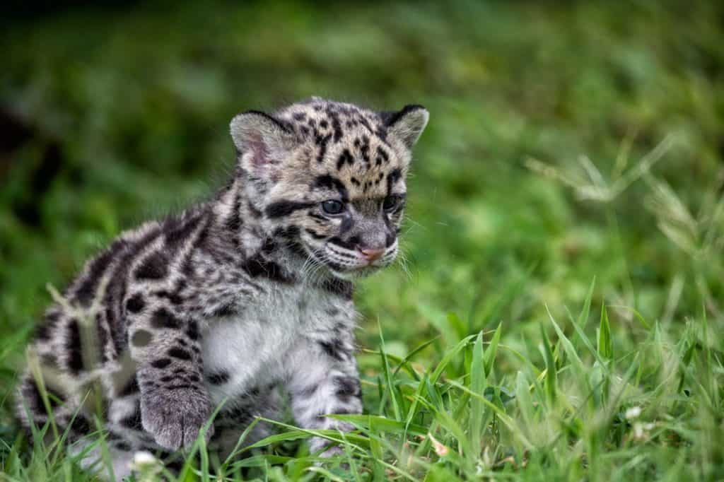 leopard-cub-sustainable-jungle