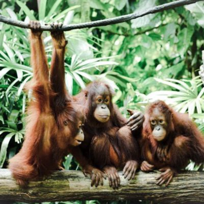baby-orangutans-sustainable-jungle-palm-oil-free