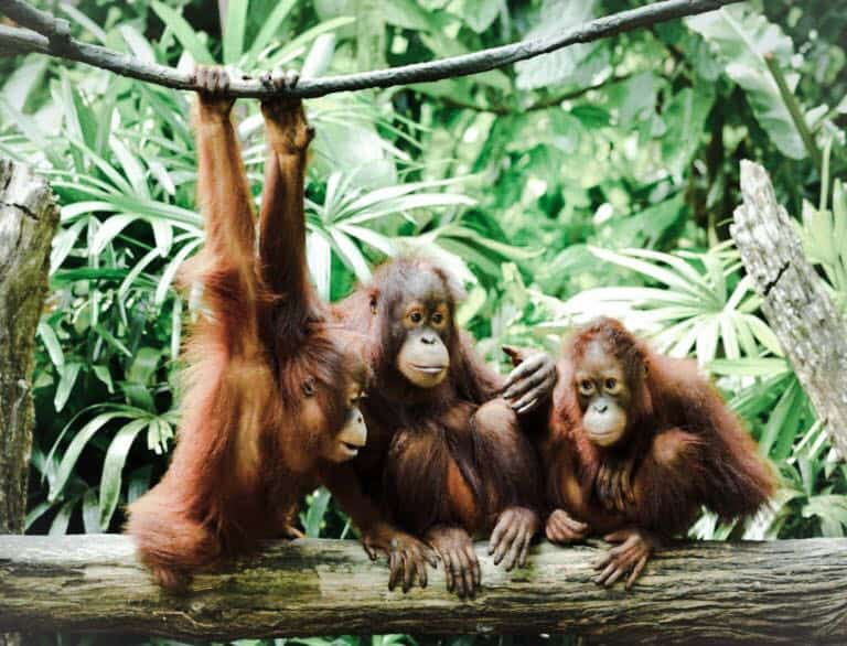baby-orangutans-sustainable-jungle-palm-oil-free