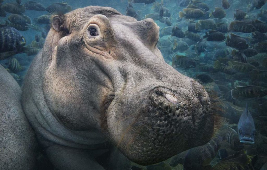 Tim Flach's Hippopotamus Underwater