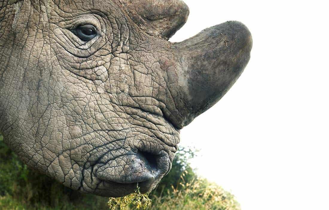 Tim Flach's Northern White Rhino (now extinct)