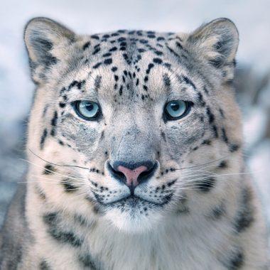 Tim Flachs Snow Leopard Portrait