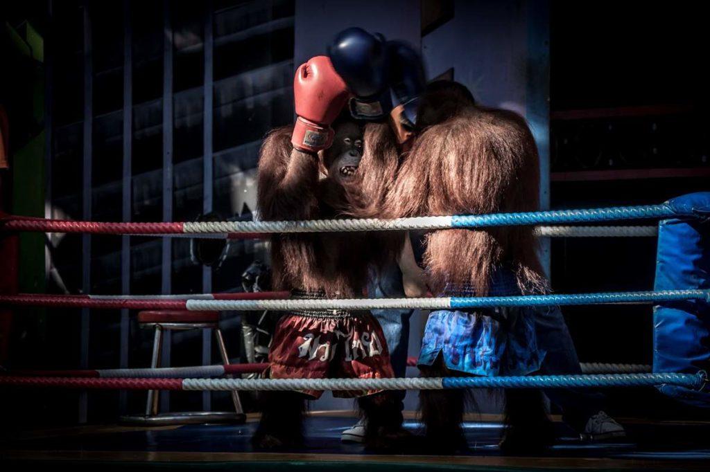 Boxing Orangutans in Bangkok, Thailand. Image by Aaron 'Bertie' Gekoski