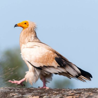 BIRDING IN FAIA BRAVA: A VULTURE EXPERIENCE WITH WILDLIFE PORTUGAL