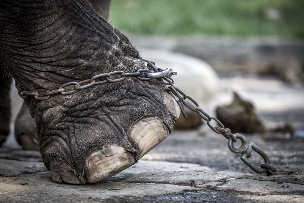 Elephant chained up in Bangkok, Thailand. Image by Aaron 'Bertie' Gekoski