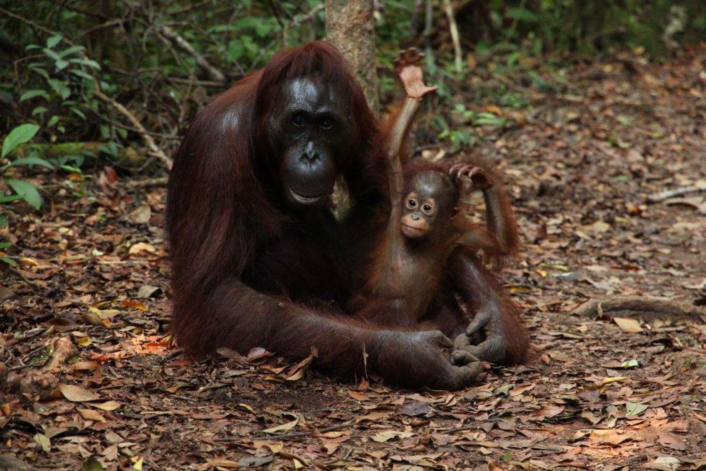 Orangutan and Baby - Photo by Fabrizio Frigeni