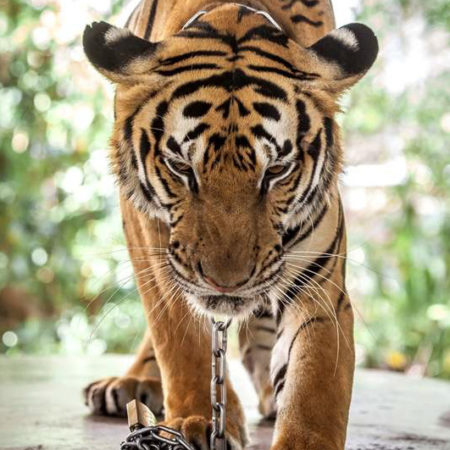WILDLIFE TOURISM: THE CRUEL REALITY BEHIND THAILAND'S POPULAR ANIMAL ATTRACTIONS AND THE MAN TRYING TO CHANGE IT