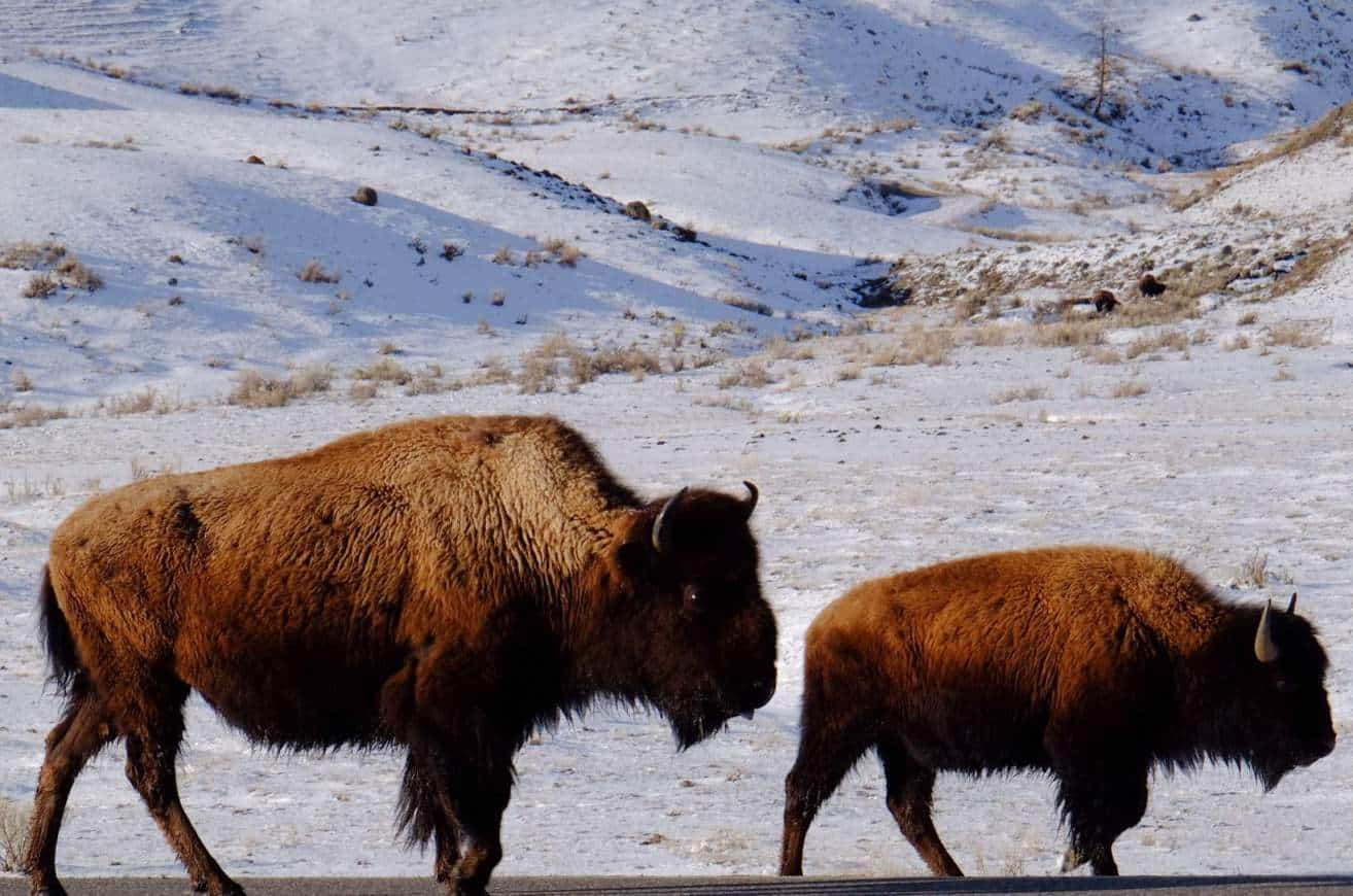 Living With Nature: Important Learnings From The Edge Of Yellowstone National Park #livingwithnature #yellowstone