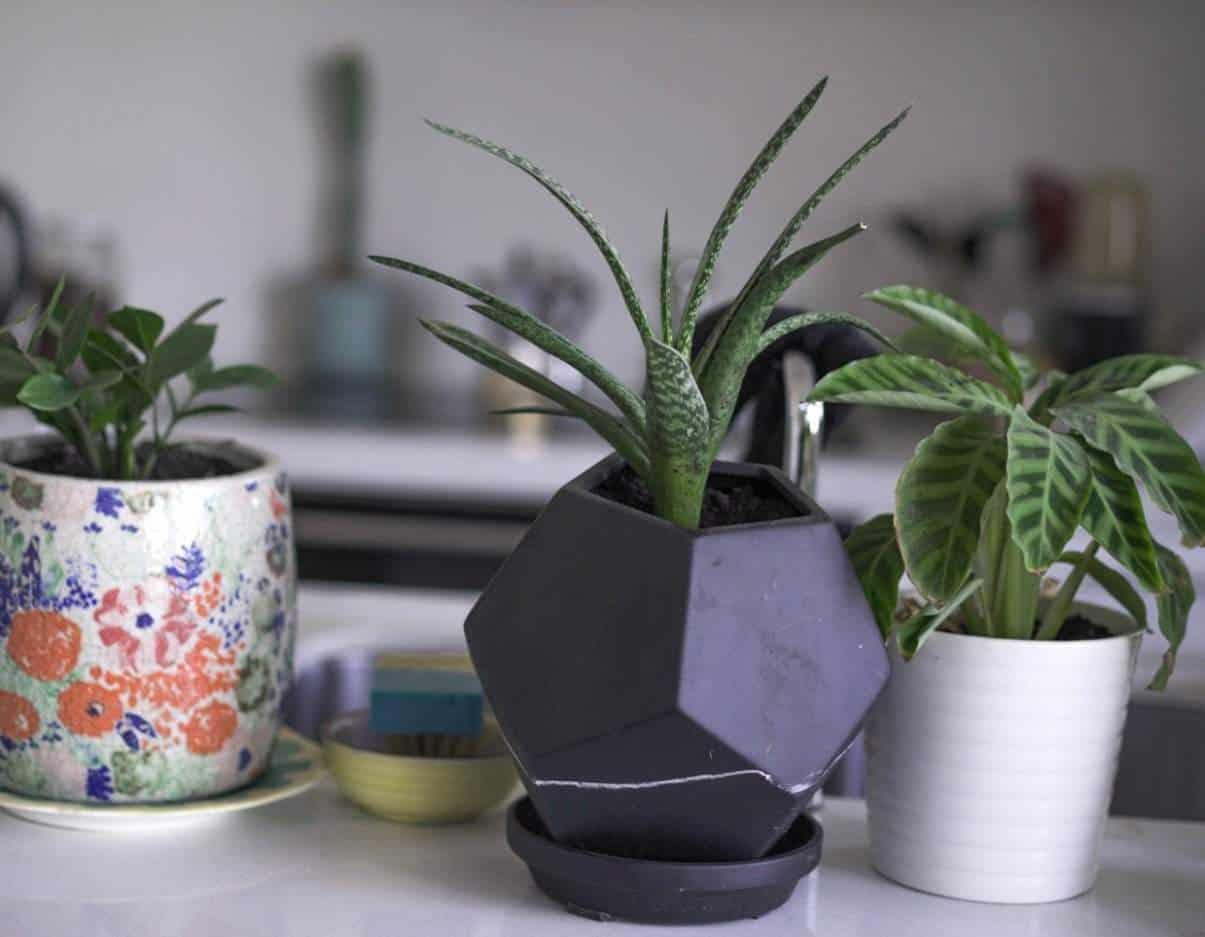 Apartment Gardening - Aloe