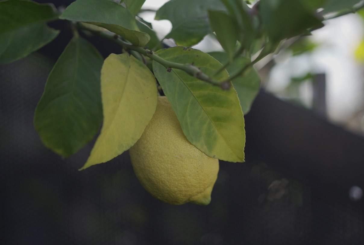 Apartment Gardening - Growing Food Lemons