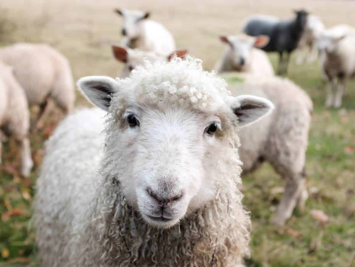 While most fabrics that make up the world of sustainable fashion deserve a bit of scrutiny, wool not only calls into question its impact on the environment and laborers, but its impact on wool-producing animals Photo by Sam Carter on Unsplash #sustainablefashion #ethicalwool